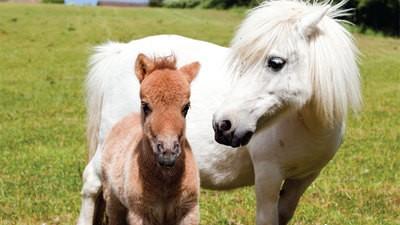 Pygmy Shetland Ponies