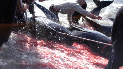 A los feroeses les encanta apuñalar ballenas
