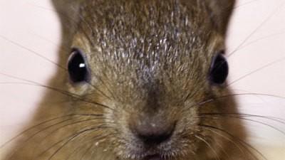Eichhörnchen-Waisenkinder