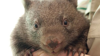 Baby Wombat Orphans