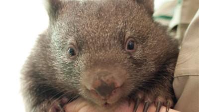Kleine Wombat-Waisen