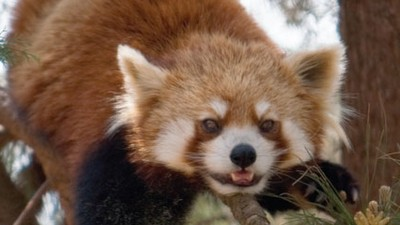 Red Pandas!