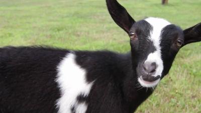 Archivo Vice: ¡Cabras enanas nigerianas!