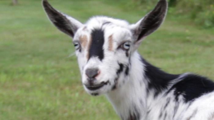 Nigerian Pygmy Goats!