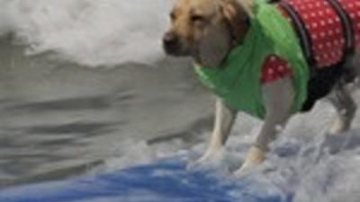 Cães Surfistas!