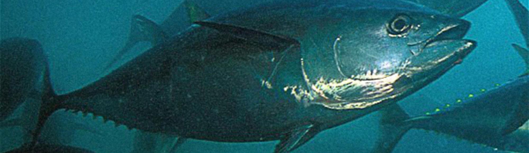 Eén giftige tonijn met extra radioactiviteit alstublieft