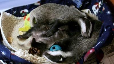 Baby Badgers!