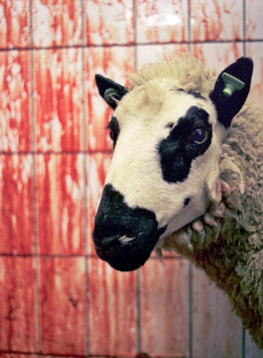 Slaughterhouses: foto's uit het abattoir