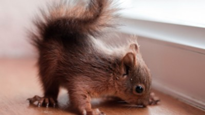 Red Squirrel Orphans!