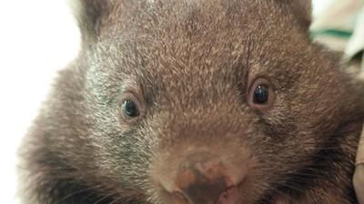 Baby Wombat Orphans!