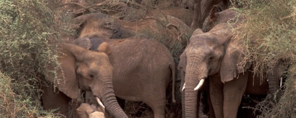 The War in Mali Isn't Any Good for Its Elephants