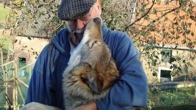 De wolf is eindelijk terug in ons land