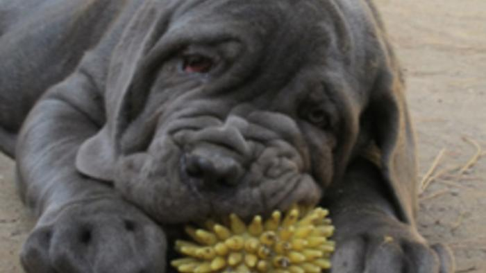 Neapolitan Mastiffs!