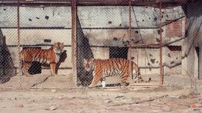 Tiger werden in Käfigen gehalten, nur um als Teppich zu verenden