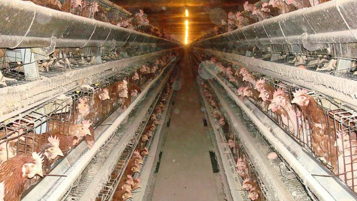 Beat Your Meat: Factory Farmers Want to Choke Their Chickens in Private