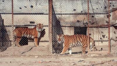 Les tigres de batterie chinois