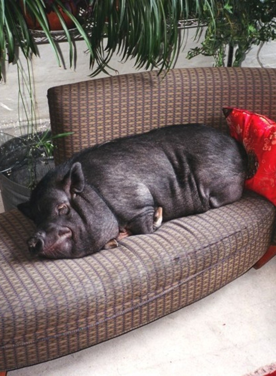 Levi Mandel Photographs Sleepy Pigs and Other Fantastic Things