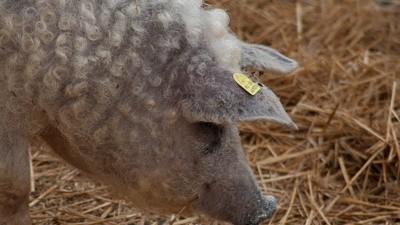 Porci postdecembrişti cu blană de oaie