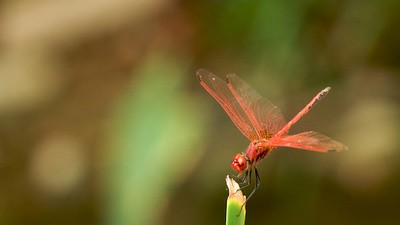 Dragonflies Are Really Good Hunters, Not Drones