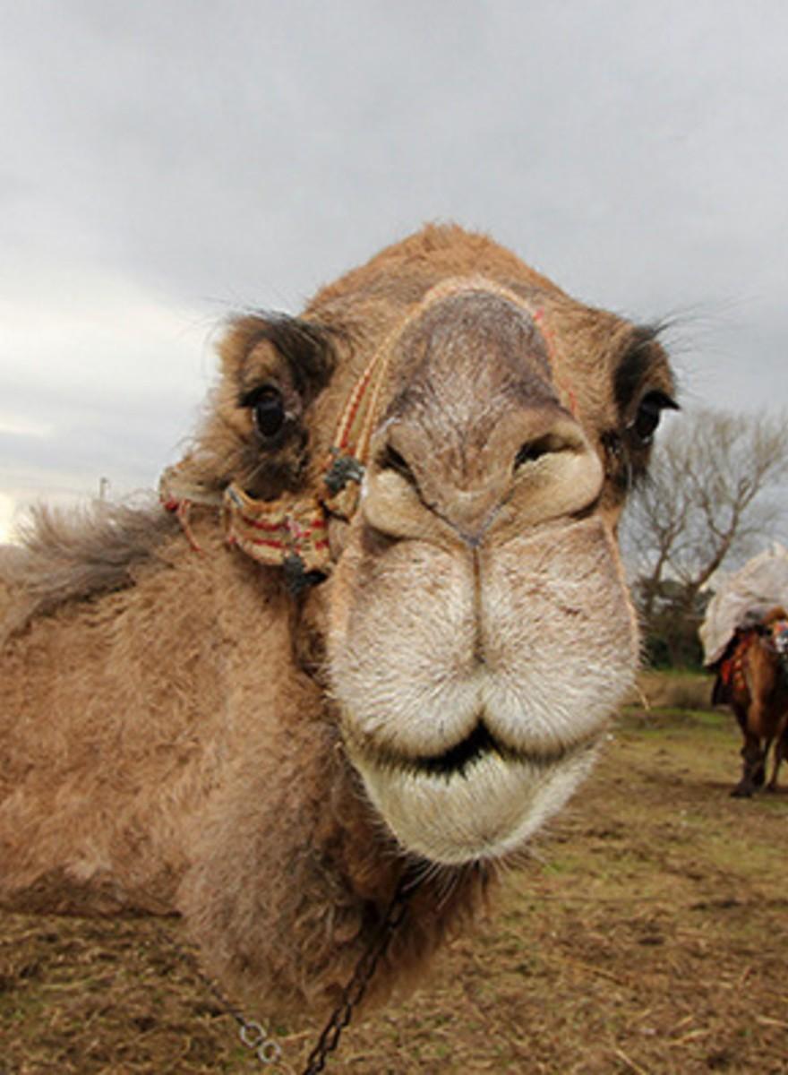 La batalla de las bestias: Peleas de camellos en Turquía