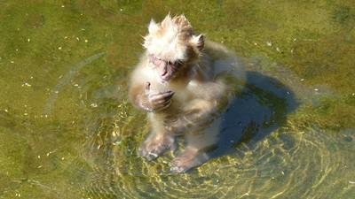 How the Aquatic Ape Theory Keeps Floating On