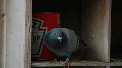 Pigeon Racing Is a Dying Sport in Canada