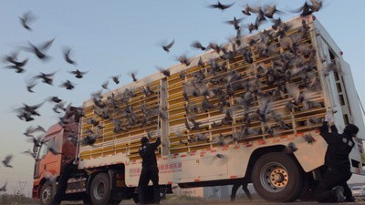The $wiftest Pigeon - Trailer
