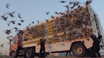 Cel mai rapid porumbel - Trailer