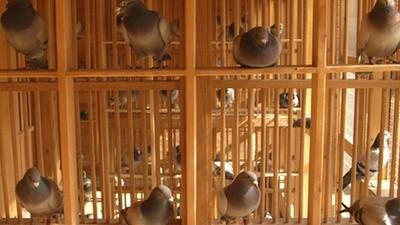 Os novos milionários chineses adoram pombos