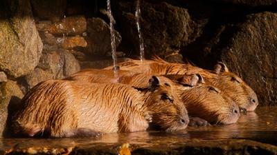 ¡Un sauna para capibaras!