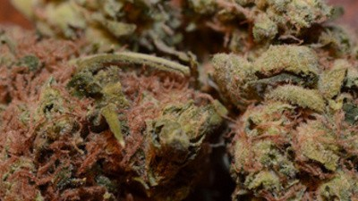 Dirty Weed Is Poisoning the Emerald Triangle