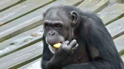 The Government Is Retiring Hundreds of Chimps from Biomedical Research