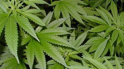Uruguay avanza por la legalización de la marihuana y deja atrás a Ámsterdam
