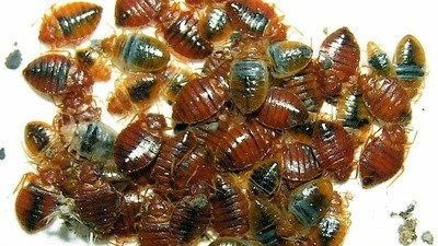 Bedbugs Made Me a Real New Yorker