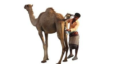 A beber orina de camello en Yemen