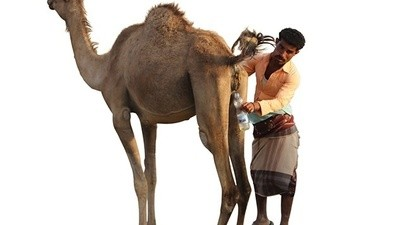 Ho bevuto piscio di cammello in Yemen