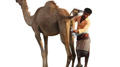 Kamelenplas drinken in Jemen