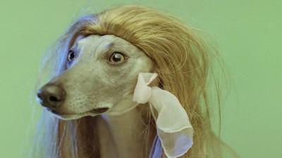 Dogs in Wigs