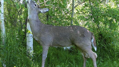 Poachers Are Still Getting Duped Into Shooting Robot Deer