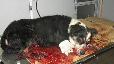 Rumänen töten rudelweise streunende Hunde