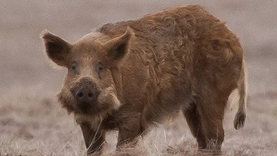 The Wild Boar and Feces Epidemic in Palestine
