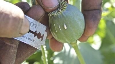 Opiumboer is de enige baan die Bedoeïenen in Sinaï kunnen krijgen