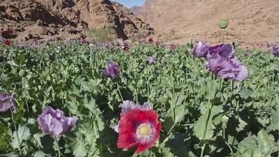 Sembrar opio es lo único que les queda a los beduinos