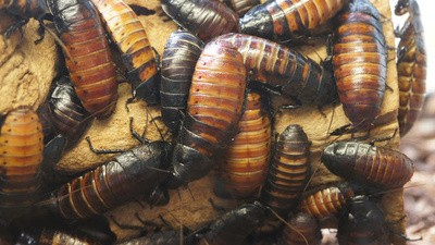 Cyborg Cockroaches Can Now Generate Their Own Power