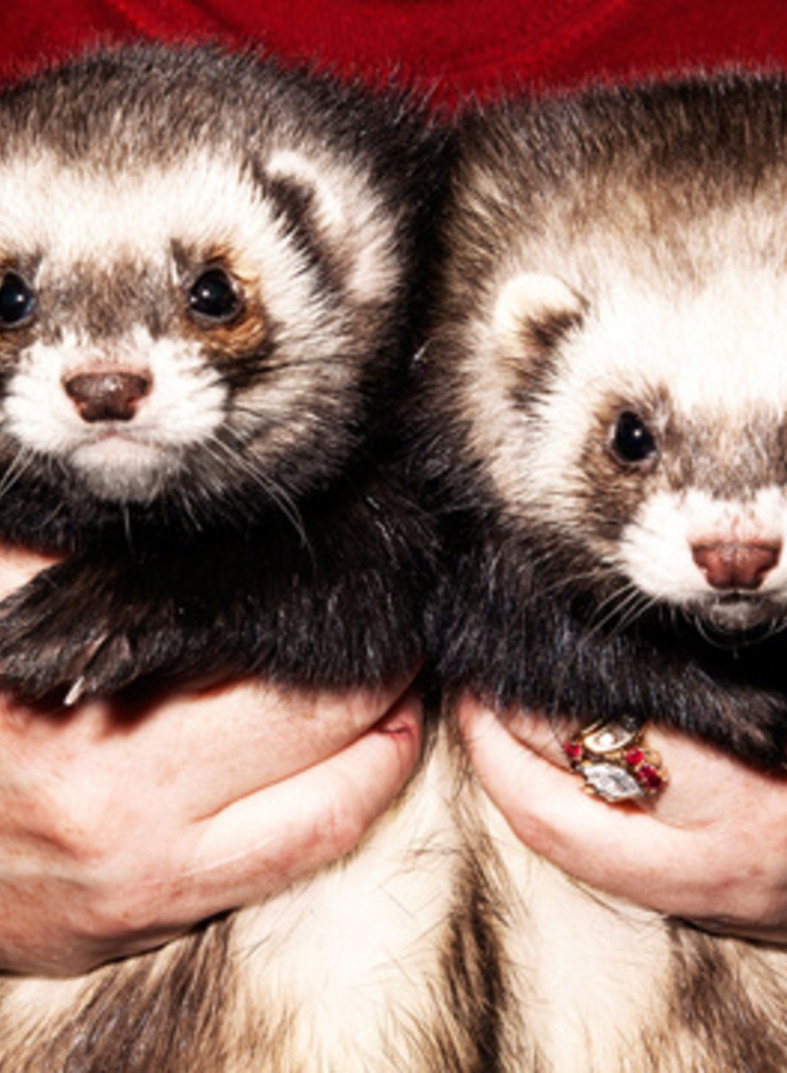Full Nelson Ferretry: Inside the 2014 Ferret Fandango