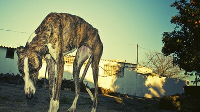 The Fight to Stop Spain's Greyhound Holocaust