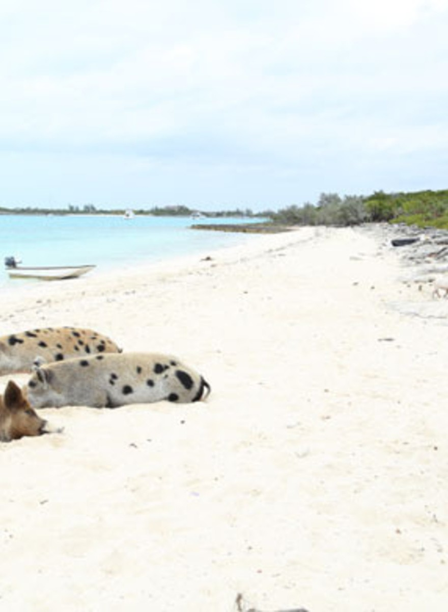 Los misteriosos cerdos playeros de Big Major Cay