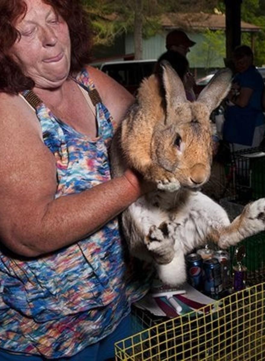 Conejos americanos gorditos
