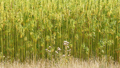 The Great Hemp Experiment Begins