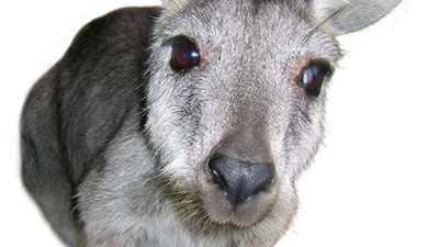 The Death of a Romanian Kangaroo